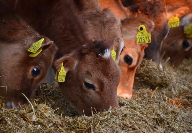 Overskuddet for øko-landmænd er halveret