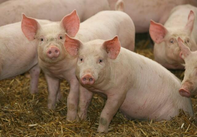 Svinekonsulent efter ny UK-kontrakter: Kig jeres fælles aftaler igennem