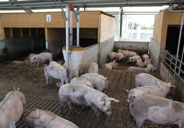Greenpeace i aktion på dansk svinebrug