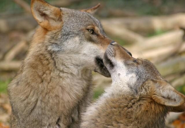 - Dyreholdere bør ikke stå alene mod ulven