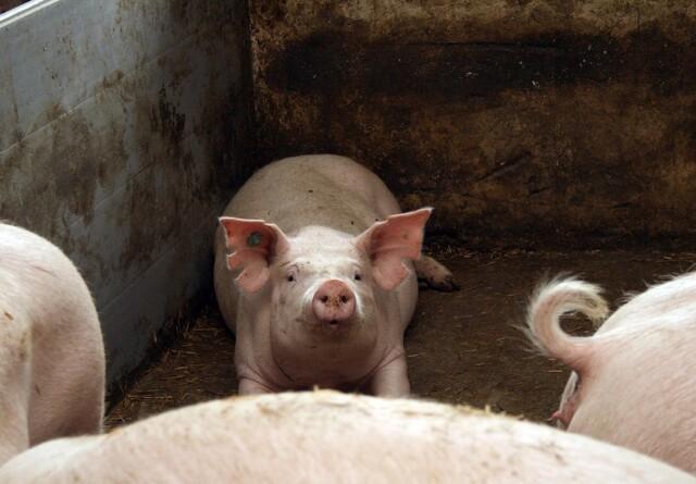 Afrikansk svinepest spredes over store afstande