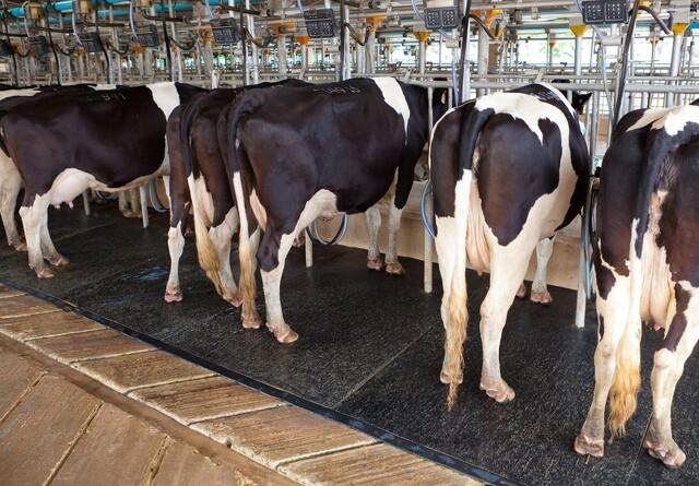 Mælk med mere umættet fedt kan blive et nyt specialprodukt
