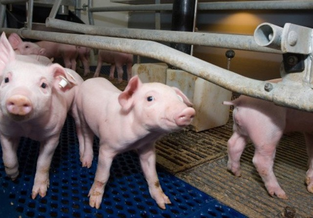 Svineproducent dømt for løndumping