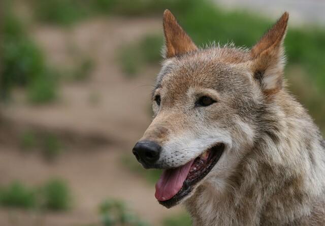 100 procent dækning af ulvehegn