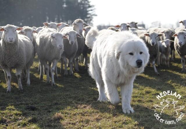 Hedelam foreslår udlån af  vogterhunde