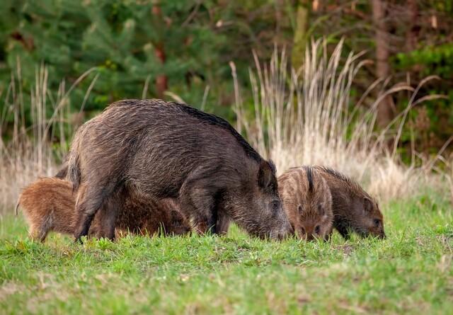 Kroatien, Slovenien og Grækenland er højrisiko-lande for afrikansk svinepest