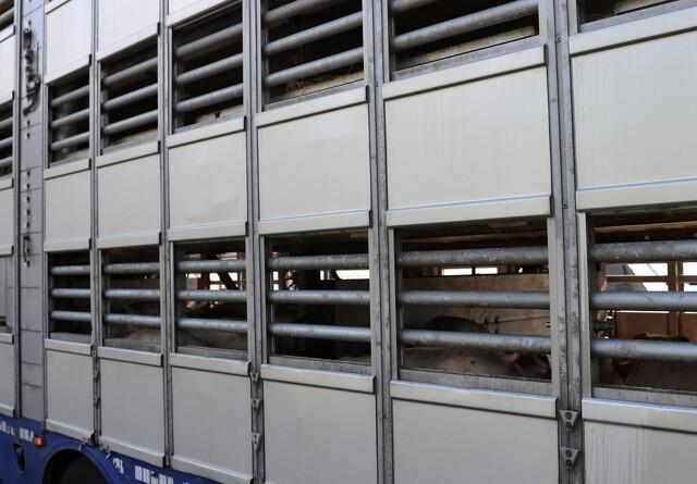 Vognmænd i retten for brud mod dyretransportregler