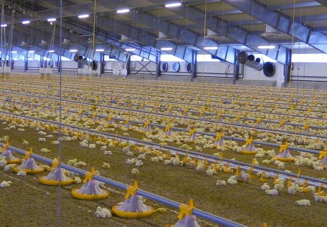 Større kyllingehuse med god ventilation