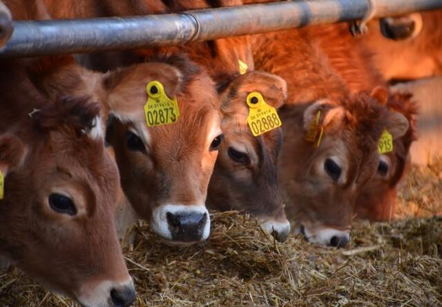 Kalveproducenter vil rette op på klimasynderen over dem alle