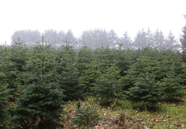Forening: Juletræer pynter på CO2 regnskabet