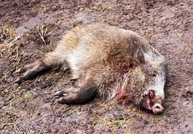 Lighunde skal finde døde vildsvin