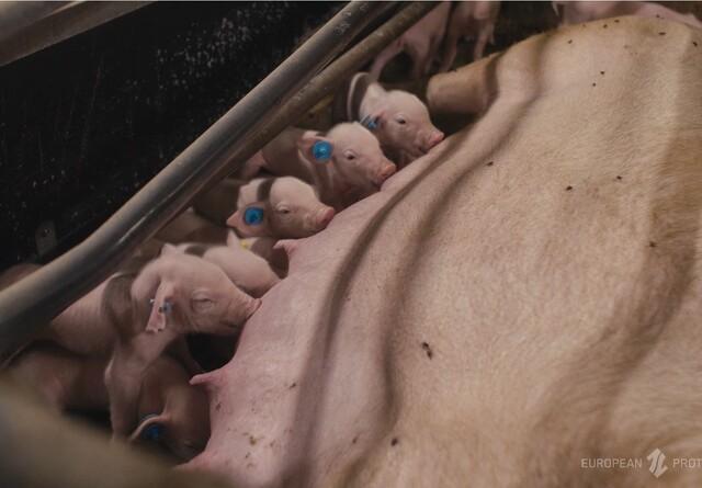 DNA-test sladrer om effekten af grisefoderet