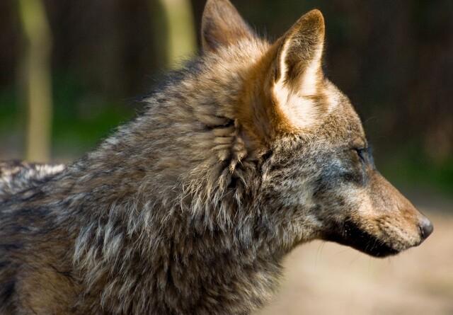 Mulig ny ulv i Nordjylland