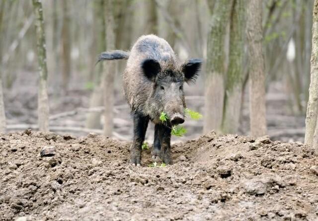 Tysk delstat ruster sig mod svinepest