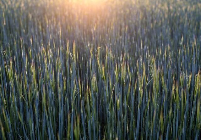Debat: Efterafgrøder - det er en ommer