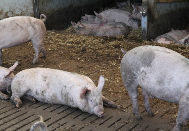 Vaccine mod svinepest kan være på vej