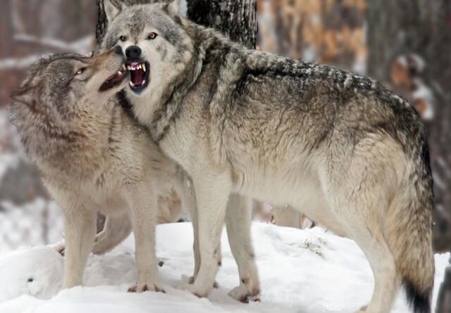 Forældrepar i ulvekobbel bag flere husdyrdrab