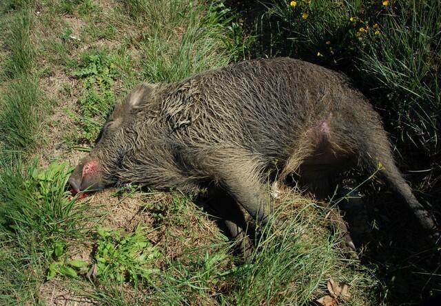 Dødt vildsvin skyllet i land