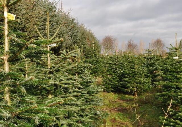 Miljøvenlige danske juletræer