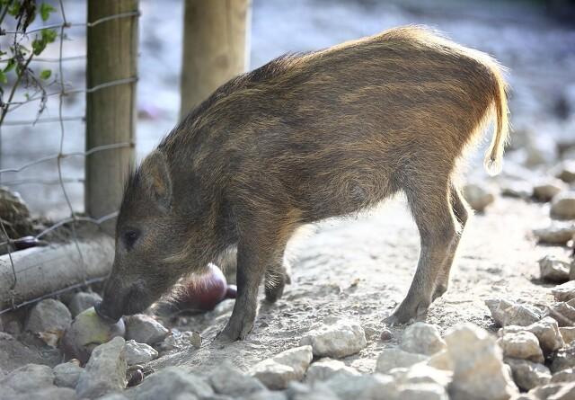 Belgien udvider svinepestzone