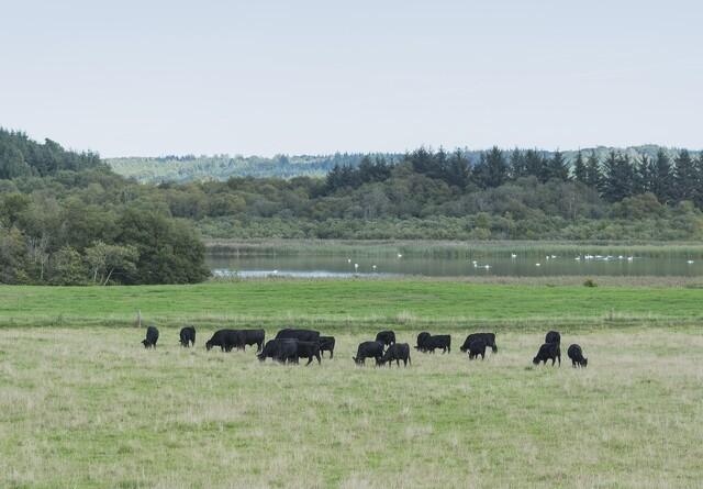 Ulve sætter stopper for kødkvæg