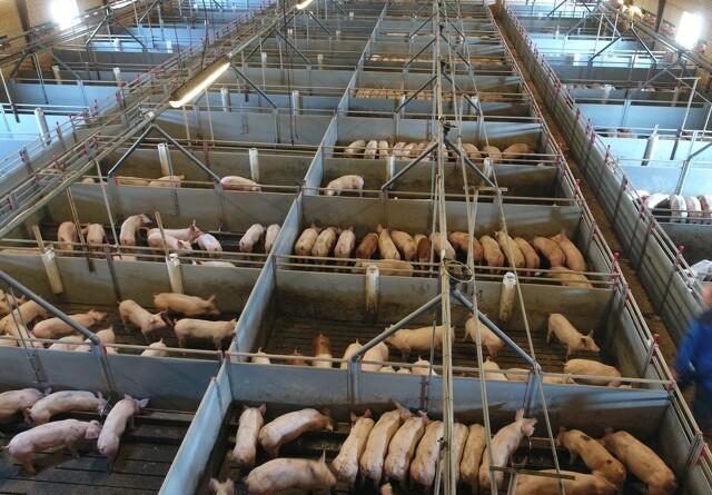 Stærk stigende import af svinekød i november i Kina