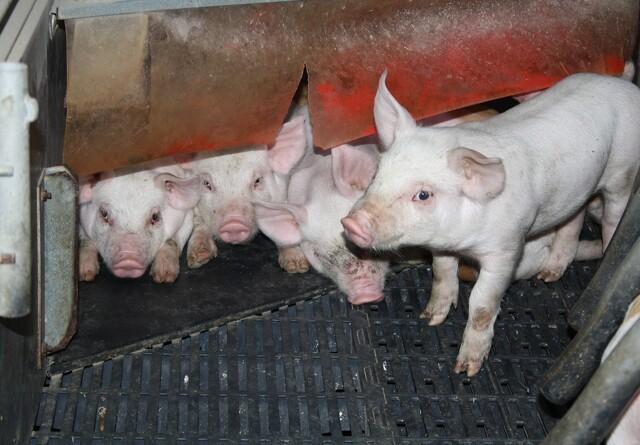 Årsmøde for svineproducenter