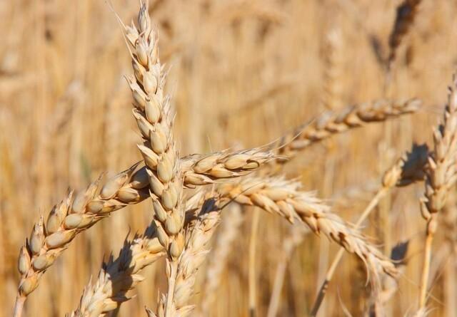 Jyske Markets: Stærk europæisk hvedeeksport løfter møllehveden