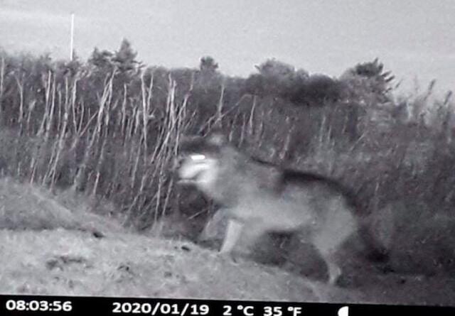 Mulig ulv i Nordjylland