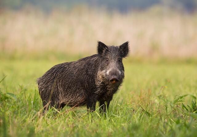 Slesvig-Holsten forbereder sig økonomisk på afrikansk svinepest