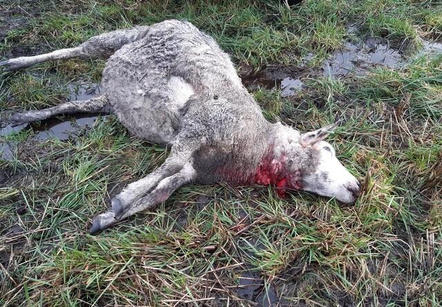 Ulveproblem berører hele landbruget