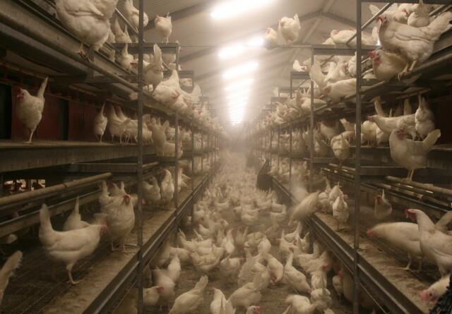 Fugleinfluenza fundet i Nordjylland
