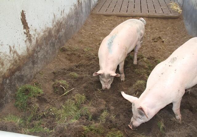 Landboforeninger: 2019 blev grisens år