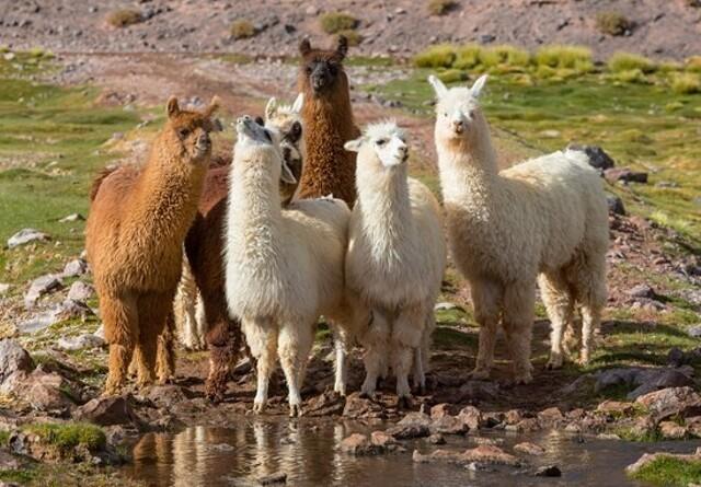 Lama-protein skal erstatte zink mod diarré til smågrise
