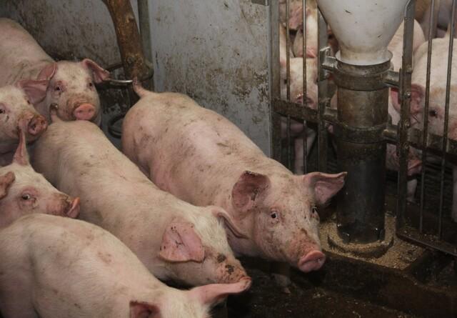 Uændret svinebestand i Danmark