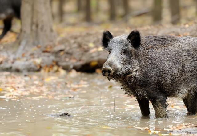 Afrikansk svinepest spreder sig i Asiens ø-riger
