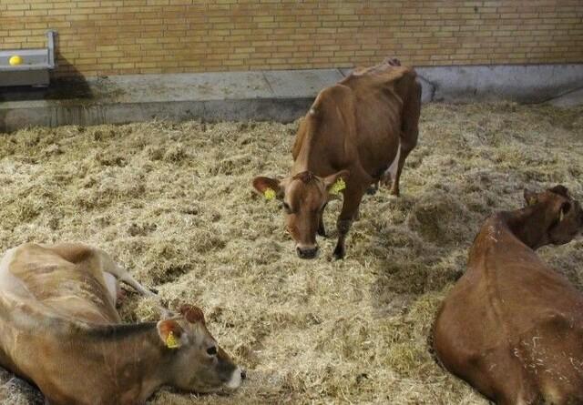 Halte køer har gavn af sygebokse