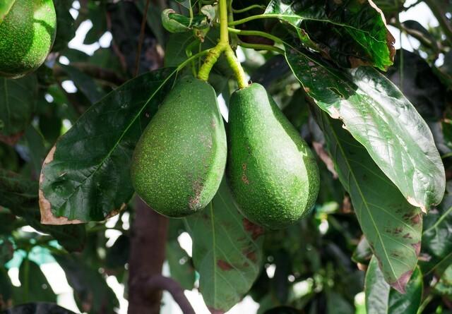 Avocadoproduktion ødelægger sydamerikansk region