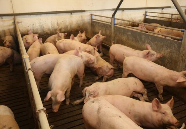 Støv fra svinestalde indeholder mange bakterier
