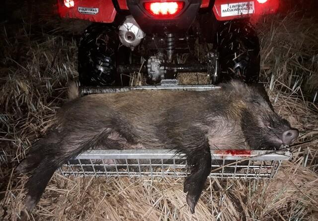 13 vildsvin nedlagt i år