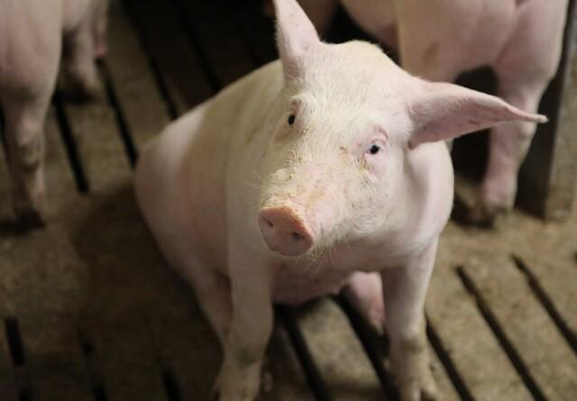 Dyrlægerne står klar ved ramperne og DC slagter som normalt