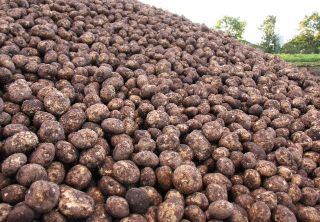 Vi udtager stadig jordprøver på læggekartoffelmarker