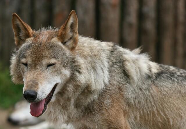 12 ulve opholdt sig i landet i slutningen af 2019