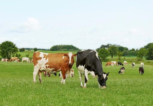 Frilands økologiske oksekød får tildelt to hjerter