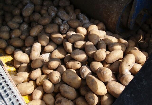 Jordprøver før avl af læggekartofler i 2020
