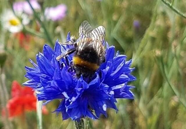 Blomster skal igen hjælpe biodiversiteten på Bornholm