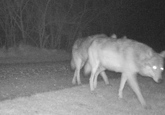 Foto af drægtig ulvetæve ved Ulfborg