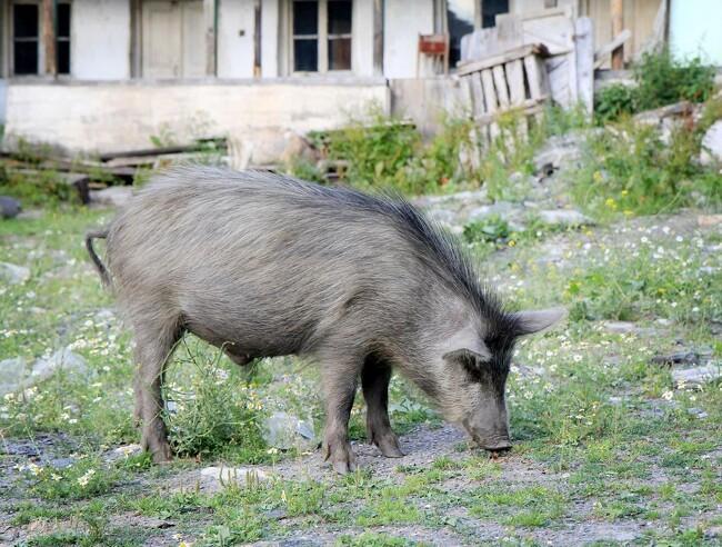 Svinepesten stiger med tre nye smittede vildsvin i Tyskland