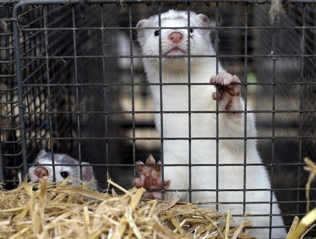 Kopenhagen Fur kan komme på kinesiske hænder