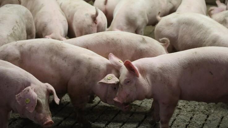 Høj notering og tunge svin skæpper i kassen